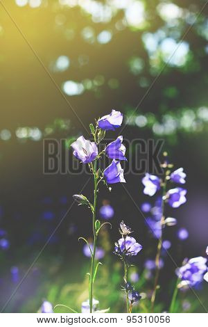 Toned cluster of big Bluebell or Campanula persicifolia