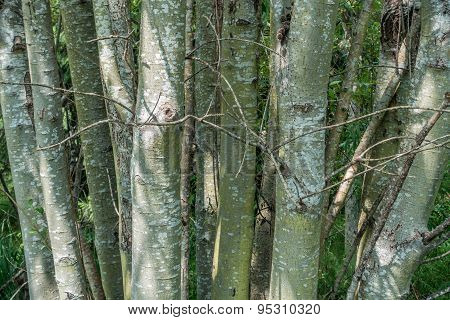 Stand Of Trees - Closeup