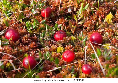Cranberries On The Moss