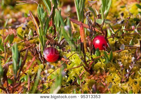 Cranberries On The Ground