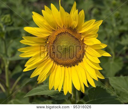 Sunflower Flower Close Up