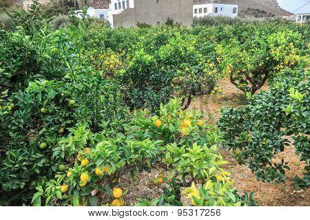Orange trees plantation in Mediterranean village on Greek Kalymnos island