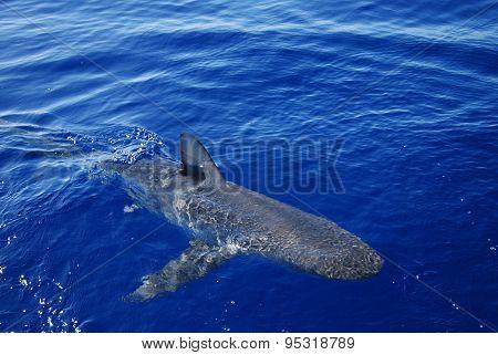 Galapagos Shark Closeup