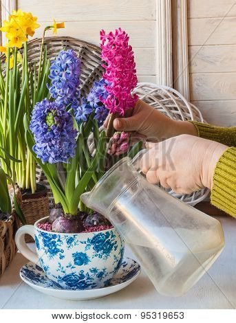 Female Hand Watering Potted Hyacinths In Vintage-cup