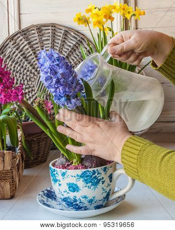 Female Hand Watering Flowering Hyacinths In A Vintage Pot-cup