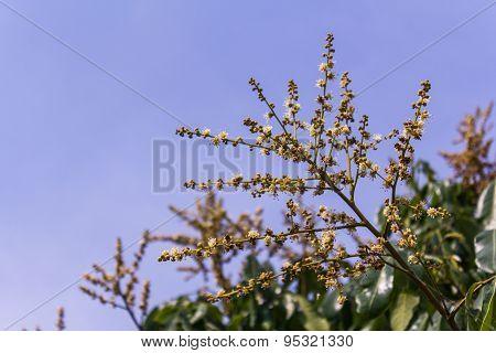 Longan Flower With Sky