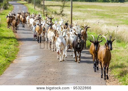 herd of goats on the road, Aveyron, Midi Pyrenees, France