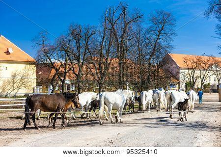 stud farm, Kladruby Kralove nad Labem, Czech Republic