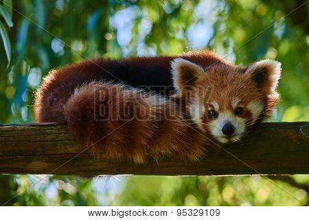 one red Panda bear on tree stomp Bifengxia base reserve Sichuan China