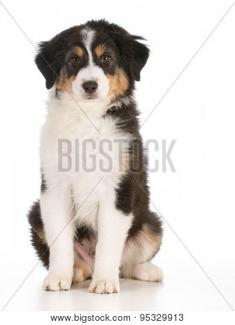 australian shepherd puppy sitting down looking at viewer on white background