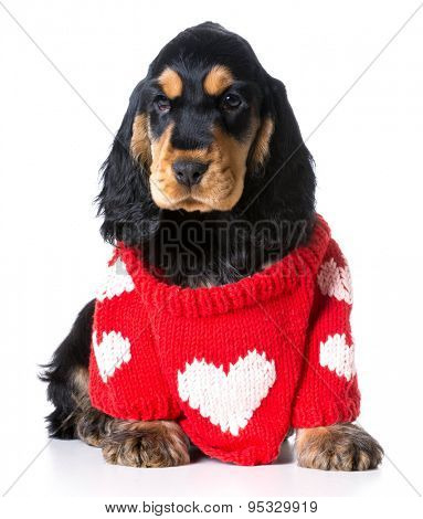 valentine's puppy - english cocker spaniel puppy wearing a sweater with a big heart on it