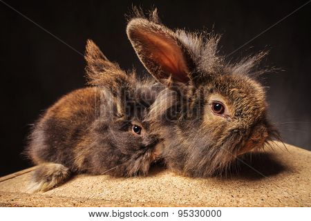 couple of adorable lion head bunny rabbits with ears up, side view picture in studio