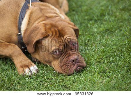 breed dog Dogue de Bordeaux