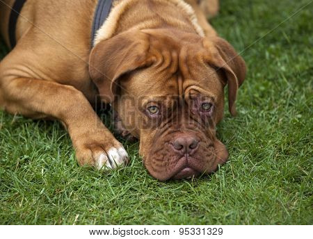sad Dogue de Bordeaux lying on the grass