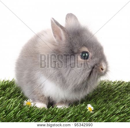 Gray rabbit bunny baby on green grass