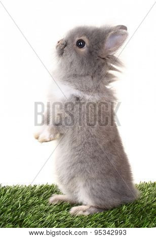 Gray rabbit bunny baby standing on green grass