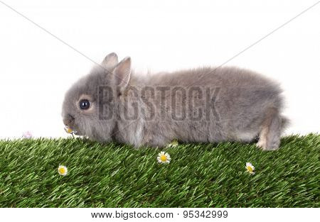 Gray rabbit bunny baby eats flower on green grass