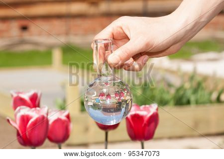 tulips and bulb with liquid fertilizer or water