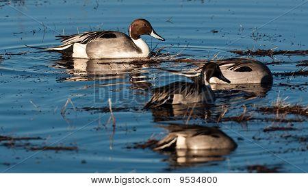 Marsh Pintail em A