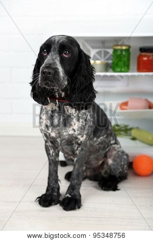 Cute Russian Spaniel near fridge in kitchen