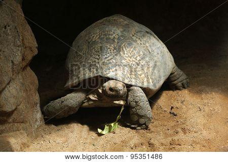 Leopard tortoise (Stigmochelys pardalis). Wildlife animal.