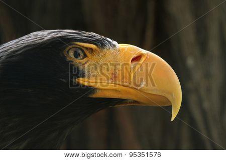 Steller's sea eagle (Haliaeetus pelagicus). Wildlife animal.