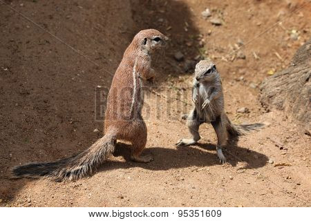 Two Cape ground squirrels (Xerus inauris). Wildlife animals.