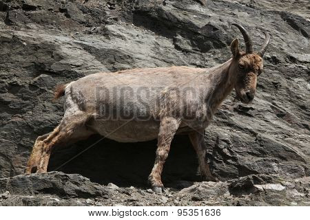 Female West Caucasian tur (Capra caucasica), also known as the West Caucasian ibex.