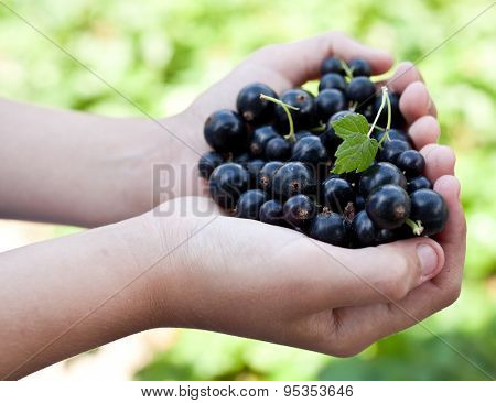 Black currants is in the child's hands.  Blurred green foliage on the background.