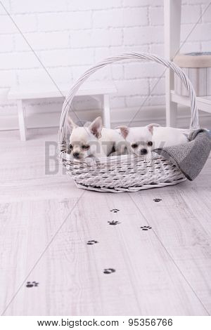 Adorable chihuahua dogs in basket and muddy paw prints on wooden floor in room