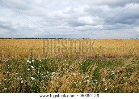 Cloudy sky over golden field