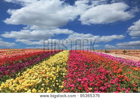 Flowers planted with broad bands of colors - red  and yellow. Field of multi-colored decorative buttercups Ranunculus Bloomingdale