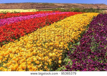 The kibbutz field with blossoming buttercups - ranunculus of different colors. Spring in Israel