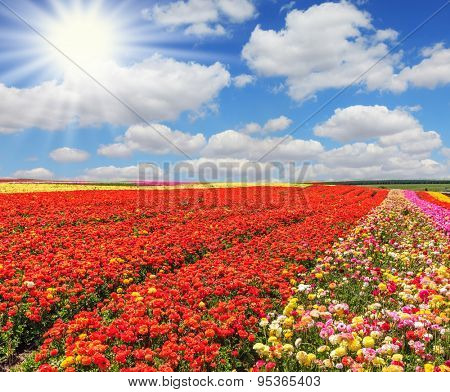 Huge fields of red and yellow garden buttercups /ranunculus/  ripened for harvesting. The bright spring sun illuminates the field of agriculture in Israel