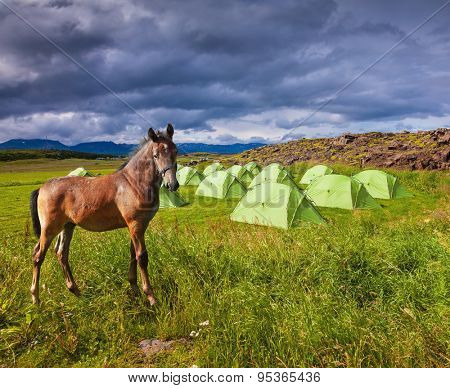 Magnificent  horse breed is about summer camp. Summer holidays in Iceland