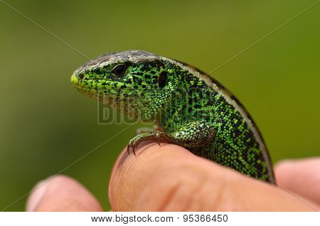 lizard outdoor (lacerta viridis)