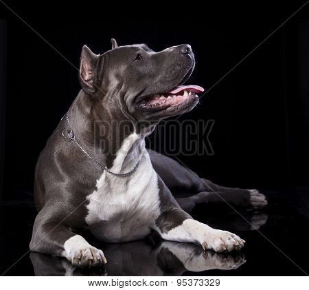 Staffordshire dog isolated on black  background