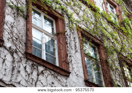 Architectural Detail of Windows of Vine Covered Building Facade