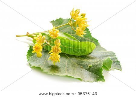 The fresh linden flowers isolated on a white background