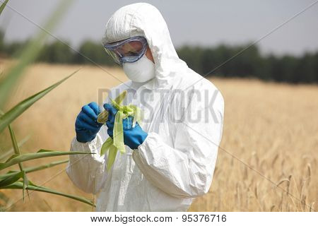 professional in uniform goggles,mask and gloves examining corn cob on field