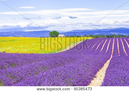 violet fields of blooming lavender and sunflowers in Provence, France
