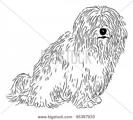 vector - rare dog - Coton de Tulear - isolated on background