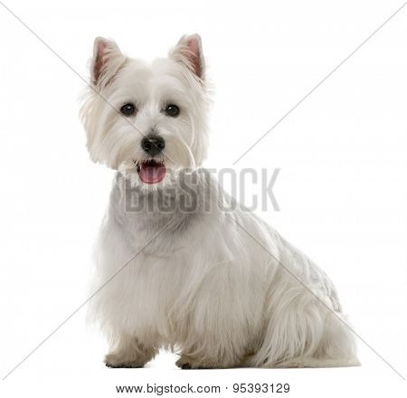 West Highland White Terrier (1 year old) in front of a white background