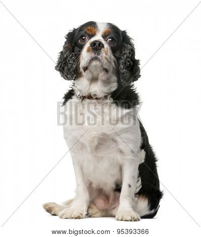 King Charles Spaniel (5 years old) in front of a white background