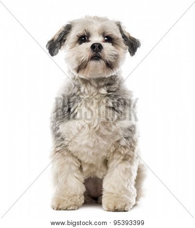 Shih Tzu in front of white background