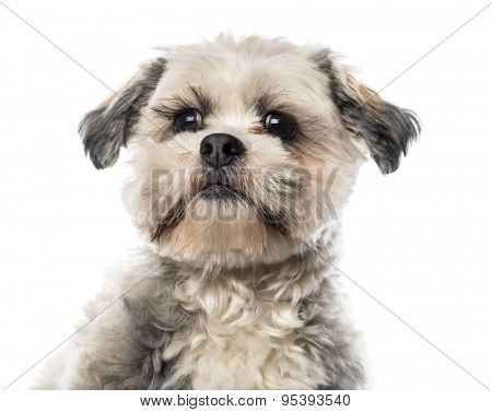 Close-up of a Shih Tzu in front of white background