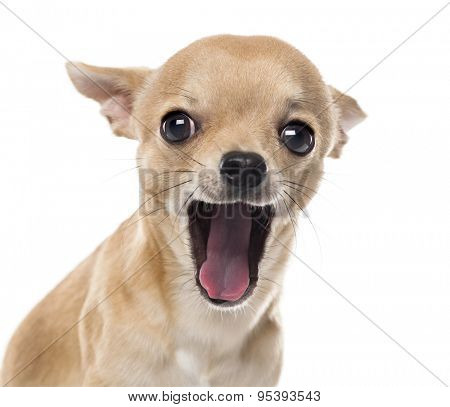 Close-up of a Chihuahua yawning in front of white background