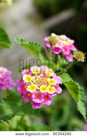 Lantana flowers in a garden