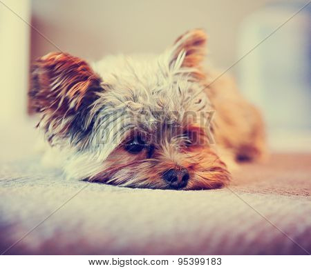 a cute yorkshire terrier peeking around while napping on a sofa toned with a retro vintage instagram filter app or action effect