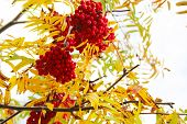 foto of rowan berry  - Red Rowan berries naturally hanging on autumn tree - JPG